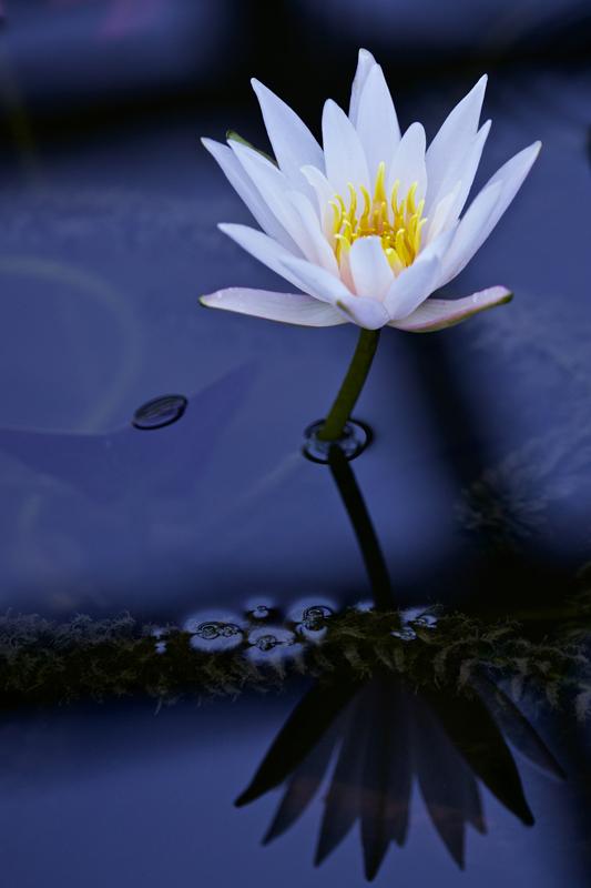 waterlily03.jpg