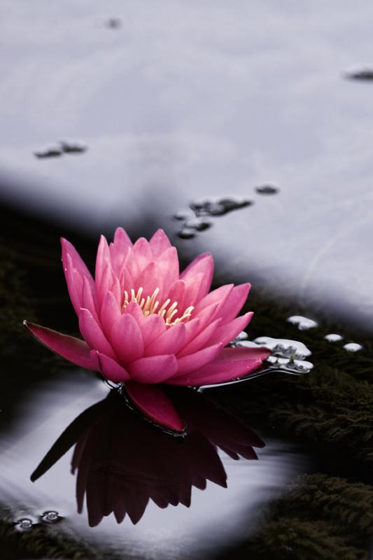 waterlily04.jpg