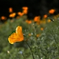 봄이 오는 소리 - California Poppy
