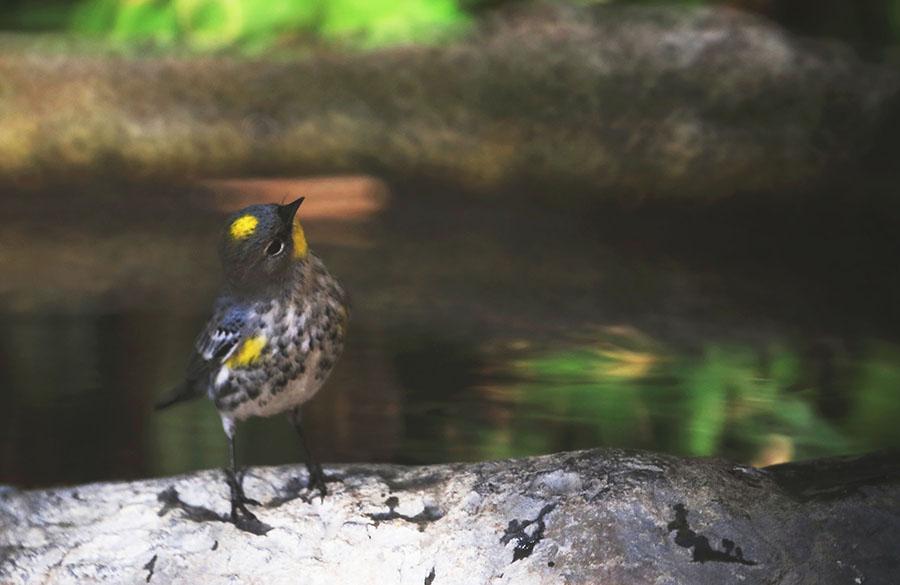 asAC97A9661 yellow-rumped warbler.jpg