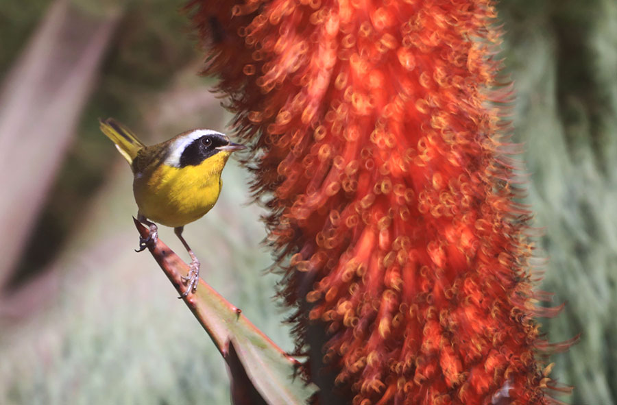 asAC97A9795 Red Hot Poker with Male Common Yellowthroat.jpg